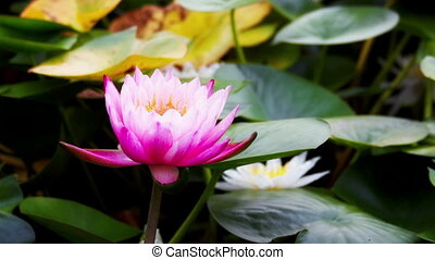 opening of water lily flower - Time lapse opening of water...