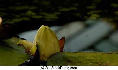 water lily flower - Time lapse opening of water lily flower...