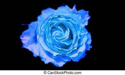 Time lapse rose. Blue rose timelapse close up
