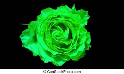 Time lapse rose. green rose timelapse close up