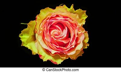 Time lapse rose. pink yellow rose timelapse close up