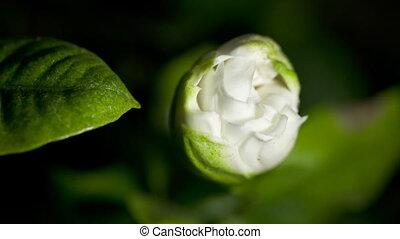 Time-lapse  white gardenia opening.