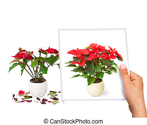 time passing concept Poinsettia flower perfect vs faded