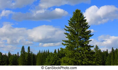timelapse conifer tree and clouds
