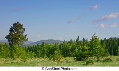 timelapse coniferous forest