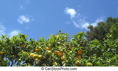 Timelapse of citrus tree with half ripe fruits and blue sky, insects
