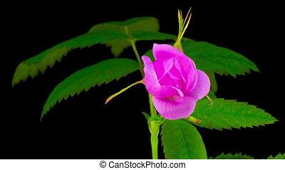 Timelapse of Dogrose Flower Blooming on Black Background.