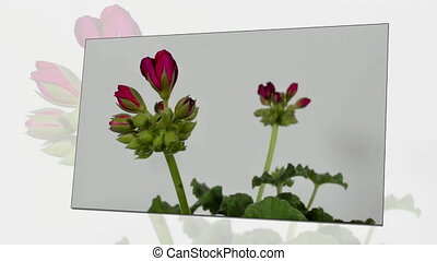 Timelapse of geranium blooming on white background.