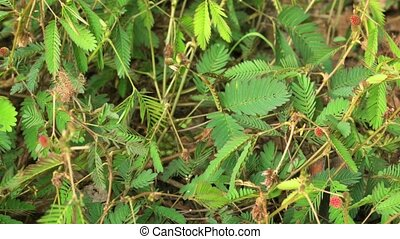 Timelapse of Mimosa Pudica Opening Up in Closeup. 1080p DCI footage