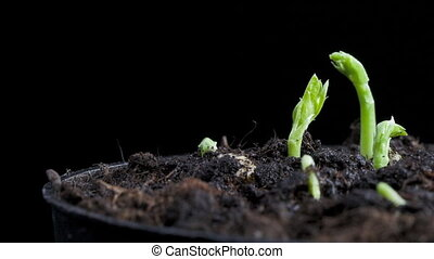pea seeds germination - timelapse of pea seeds germination