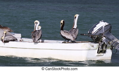 timelapse of pelicans sitting on a boat, mexico