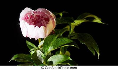 peony flowering
