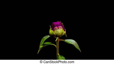Timelapse of pink peony flower blooming on black background...