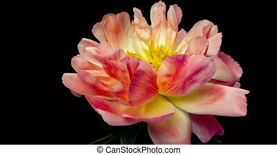Timelapse of pink peony flower blooming on black background,...