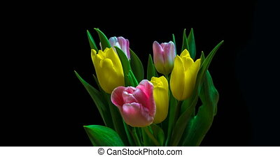Timelapse of red tulip flower blooming on black background,...
