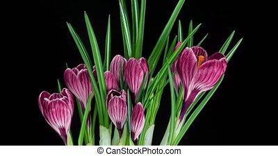 Timelapse of several pink crocuses flowers grow, blooming ...