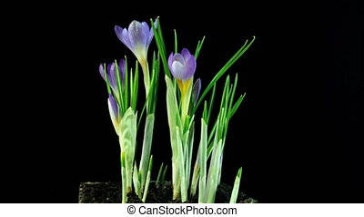 Timelapse of several violet crocuses flowers grow, blooming and fading on black background. Spring, primrose, easter. Flowers emerge from the snow