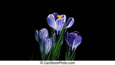 Timelapse of several violet crocuses flowers grow, blooming ...