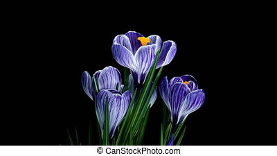 Timelapse of several violet crocuses flowers grow, blooming on black background,format with ALPHA transparency channel isolated on black background, spring, easter
