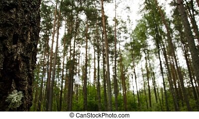Timelapse of the forest against the sky. Big birch on the ...