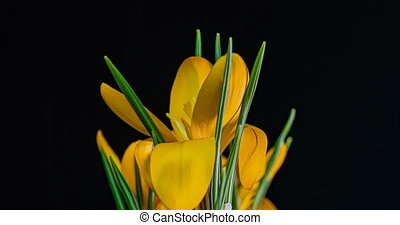 Timelapse of Yellow Crocus Flower Blooming on Black Background. 4K