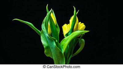 Timelapse of yellow tulip flower blooming on black...