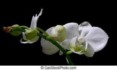 timelapse, orchidée