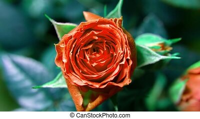 Timelapse. Rose close-up. budding rose