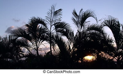 timelapse silhouette of palm trees gently blowing in the wind at sunset, mexico