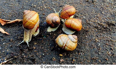 timelapse - snail crawls on the road in nature color graiding