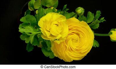 timelapse, van, een, gele, ranunculus, asiaticus, (persian, buttercup), bloem, groeiende, op, een, periode, van, 8, dagen