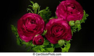 timelapse, van, een, rood, ranunculus, asiaticus, (persian, buttercup), bloem, groeiende, op, een, periode, van, 4, dagen