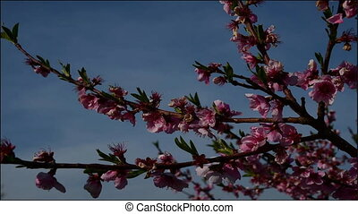 TImelapse video of a pink peach flower growing with an ornamental shrub flower growing in the background/Pink peach flower blossoming