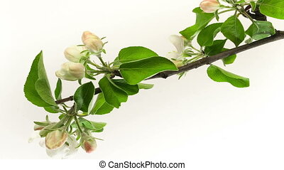 Timelapse video of an apple flower blossoming - Timelapse...