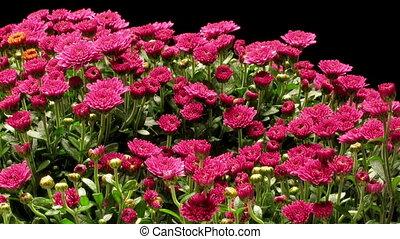 timen-afloop, chrysant, paarse