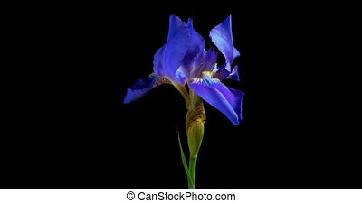 timen-afloop, van, groeiende, blauwe , iris, bloem, alpha- kanaal