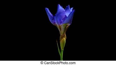 timen-afloop, van, groeiende, blauwe , iris, bloem