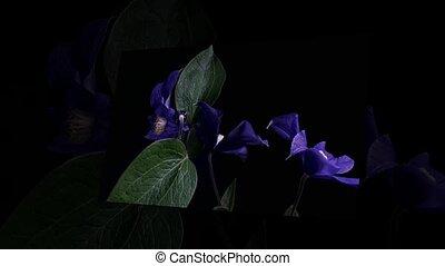 timen-afloop, van, opening, donker blauw, flowers.