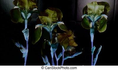 timen-afloop, van, paarse , iris, bloemen, bloeien, met, black , bakground