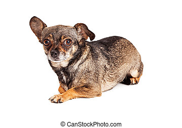 Timid Little Chihuahua Crossbreed Dog