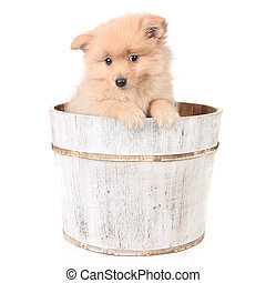 Timid Puppy in a Barrel Looking Curiously