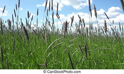 Timothy-grass (Phleum pratense)camera moves across the field...