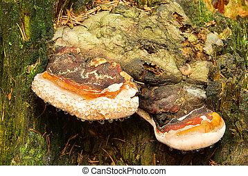 Tinder Fungus 03