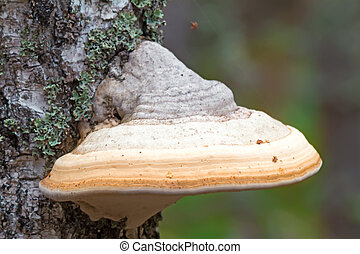 Tinder fungus grows on birch.