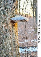 Tinder fungus on a tree