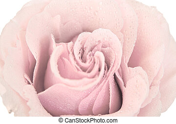 tinted pink rose isolated on a white background
