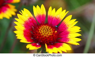 Tiny beetle on the yellow-red flower