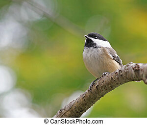 Tiny Black Capped Chickadee perched on a tree branch