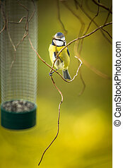 Tiny Blue tit on a feeder in a garden