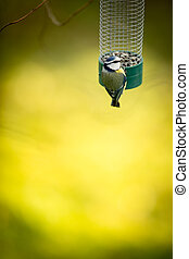 Tiny Blue tit on a feeder in a garden, hungry during winter